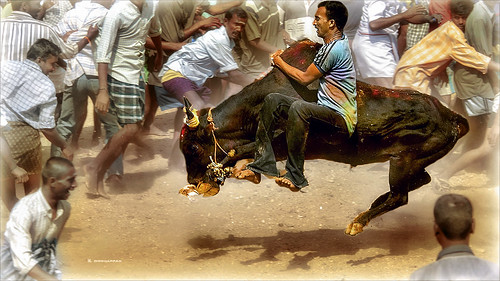 Jallikattu - Dancing with wolves | by Henk oochappan