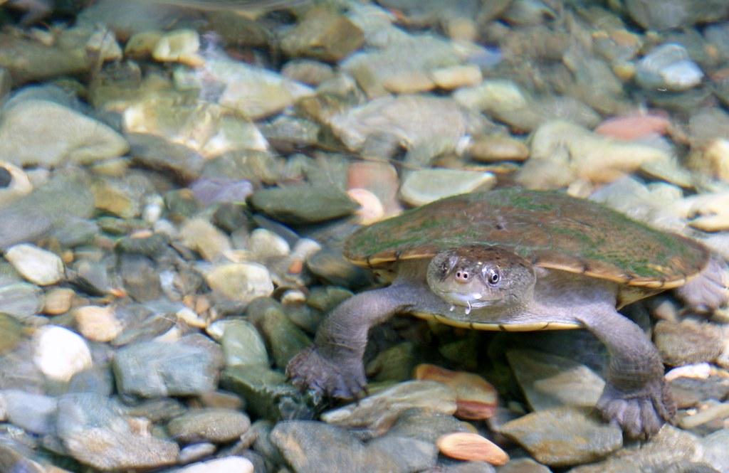 Turtle swimming in the Daintree Rainforest, Queensland Aus ...