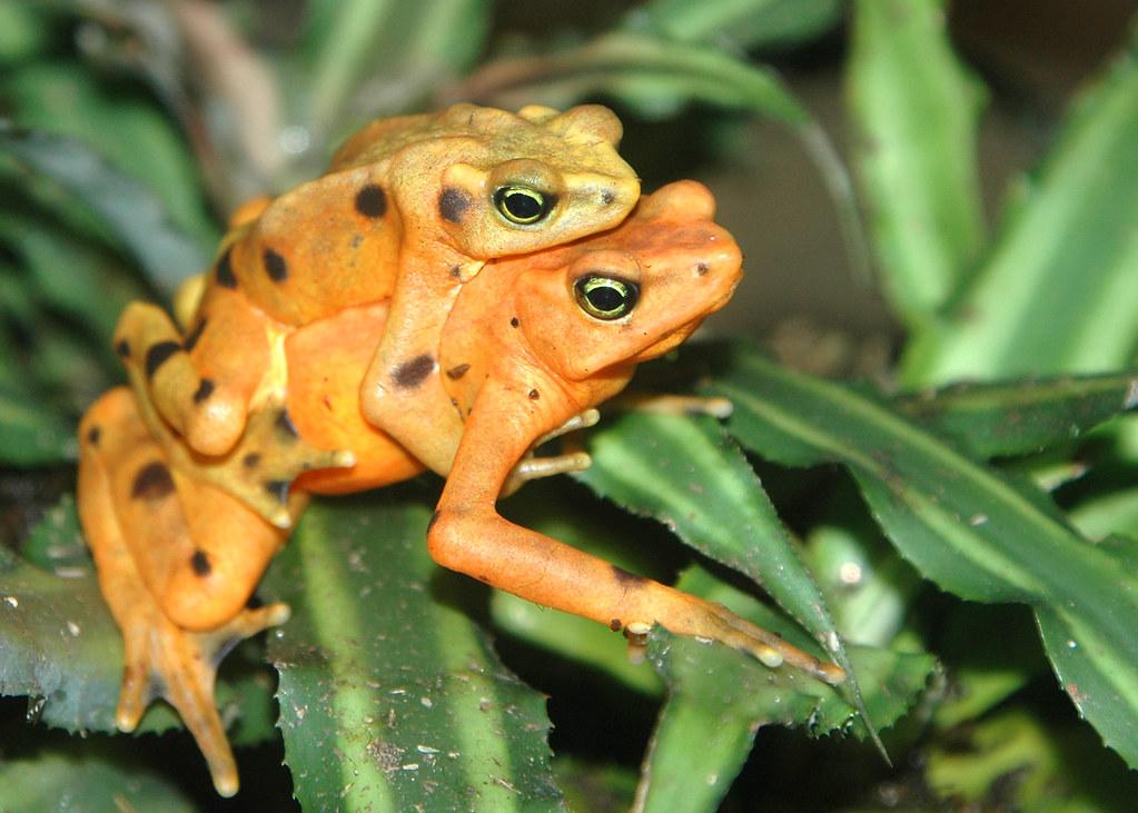 Panamanian Golden Frogs Galveston Tx This Pair Of