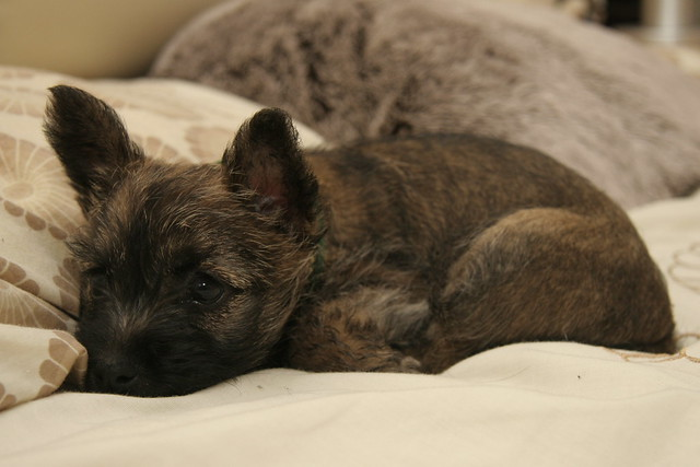Cairn Terrier Bed Size