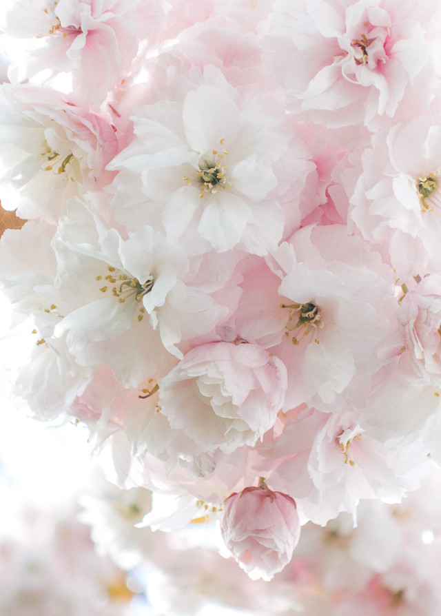 pale pink blossom