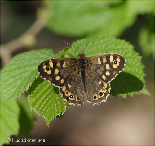 Speckled Wood | by Huddsbirder