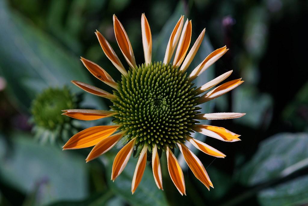 fibonacci flower 21 34 interestedbystandr flickr