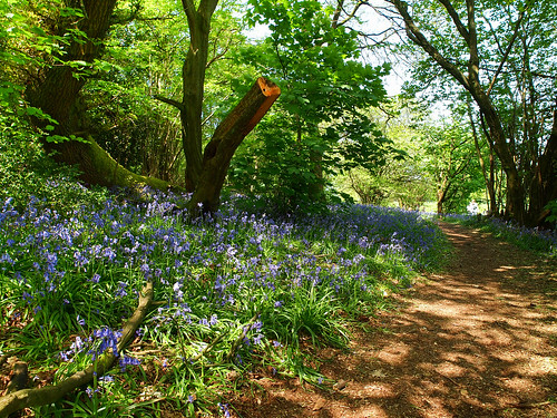 Walk in bluebell wood | by jeff.dugmore