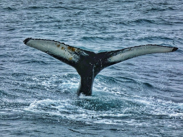 Cola de ballena en Husavík (Norte de Islandia)