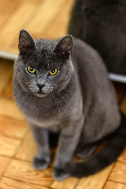 Cartujo, gato azul de ojos cobre tímido y juguetón esterilizado, nacido en Febrero´14, en adopción. Valencia. ADOPTADO. 42162579262_571935bb15_z