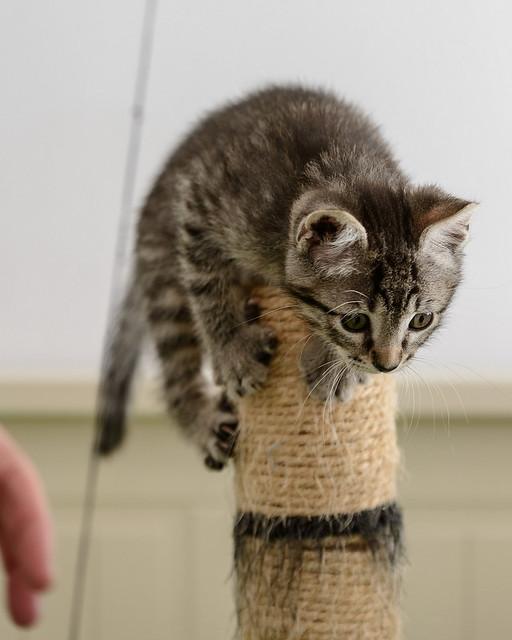 Bonnie, gatita parda monísima y muy lista esterilizada, nacida en Marzo´18, en adopción. Valencia. 42208480761_d8f6886552_z