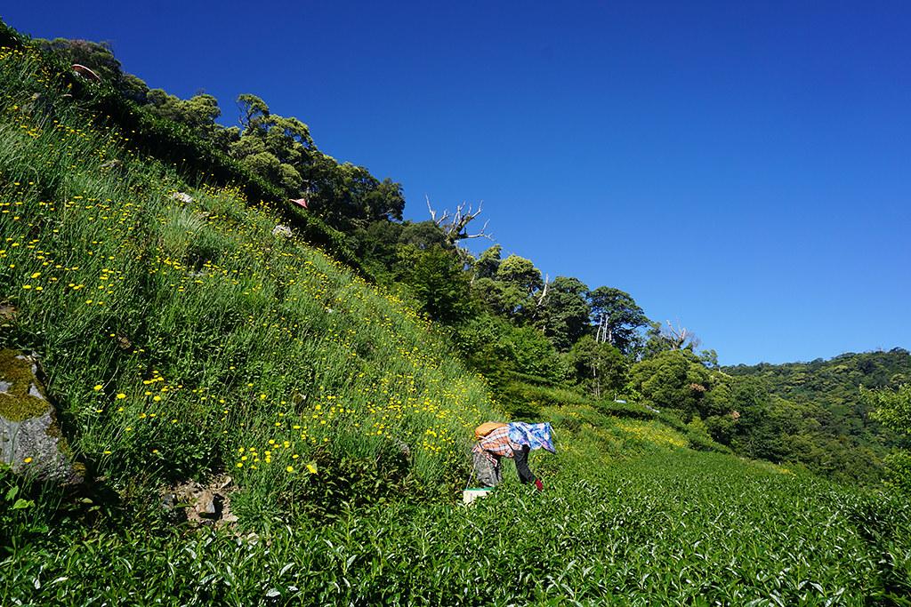 梨山古邁茶園 - 手摘茶