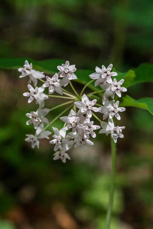 Fourleaf Milkweed