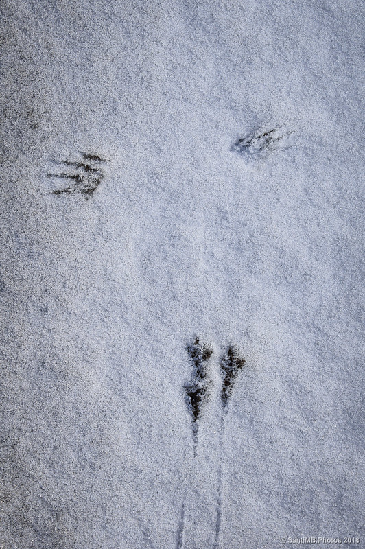 Marcas de un pájaro sobre la nieve