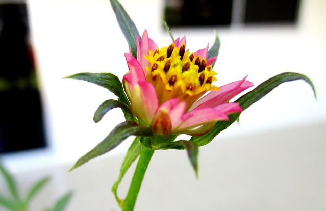 Ulam raja flower, pink 3