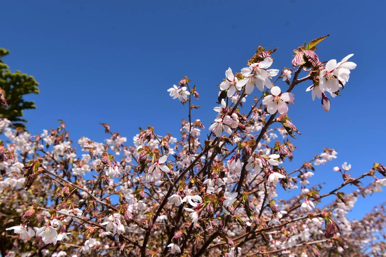 不忘山から屏風岳にかけて咲くヤマザクラ