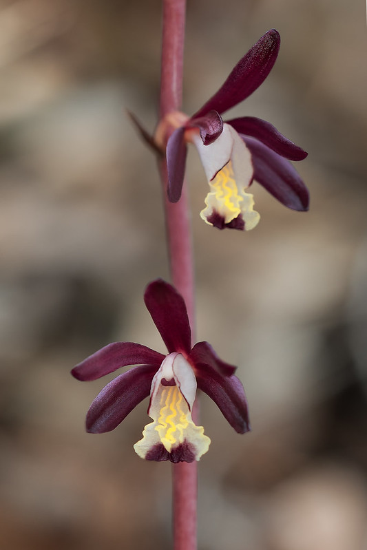 Texas Purple Spike orchid