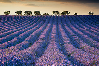 Lavender field at Sunset | by Palnick