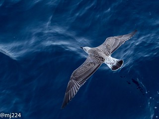 Young Gull | by dudutrois