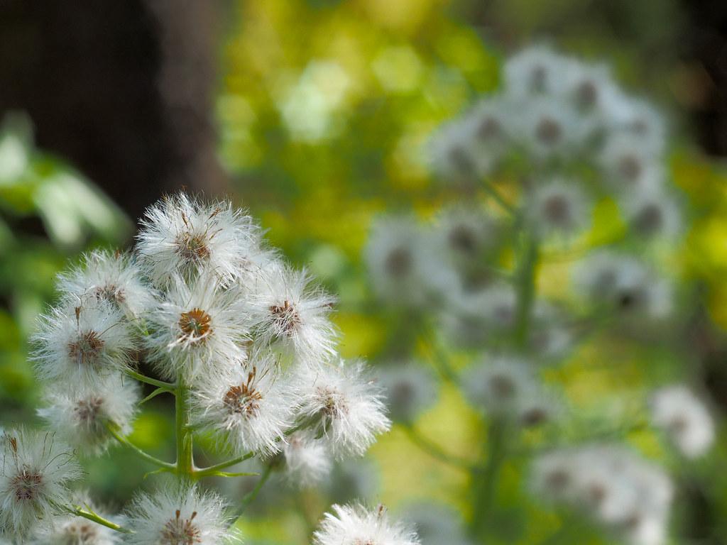 White fluffy flowers bokeh olympus om d e m5 mark ii ind flickr white fluffy flowers bokeh by tokugawa ieyasu 2018 mightylinksfo