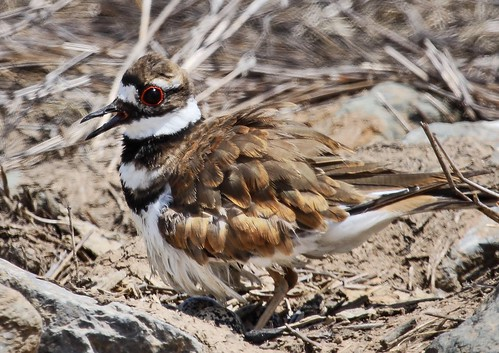Mama killdeer still guarding her eggs. (Explored) | by sigalachic
