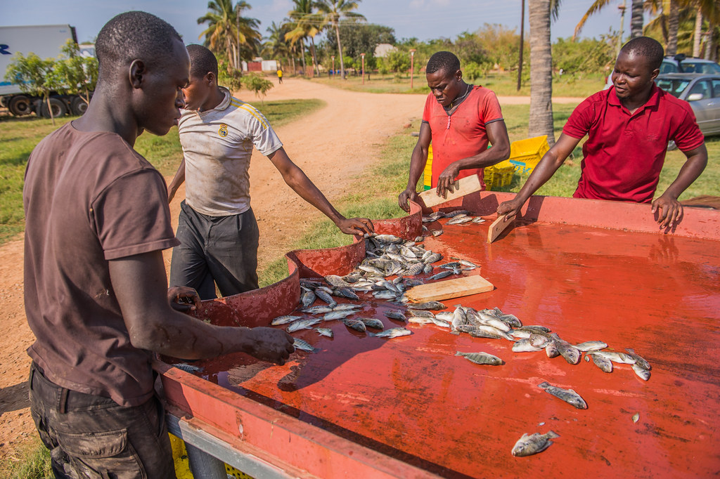 非洲坦噶尼喀湖畔的養殖漁業。圖片來源:Chosa Mweemba/WorldFish(CC BY-NC-ND 2.0)