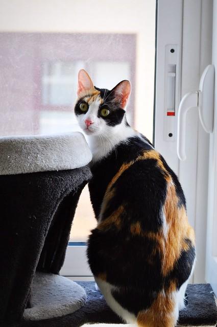 Ishtar, gatita tricolor Calicó súper cariñosa y juguetona esterilizada, nacida en Julio´17, en adopción. Valencia. 29765559428_86c30e43f4_z