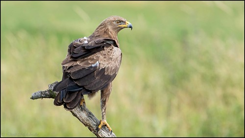 Aigle criard / Greater Spotted Eagle | by denismichaluszko