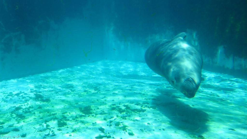 Coolio The Northern Elephant Seal Mirounga