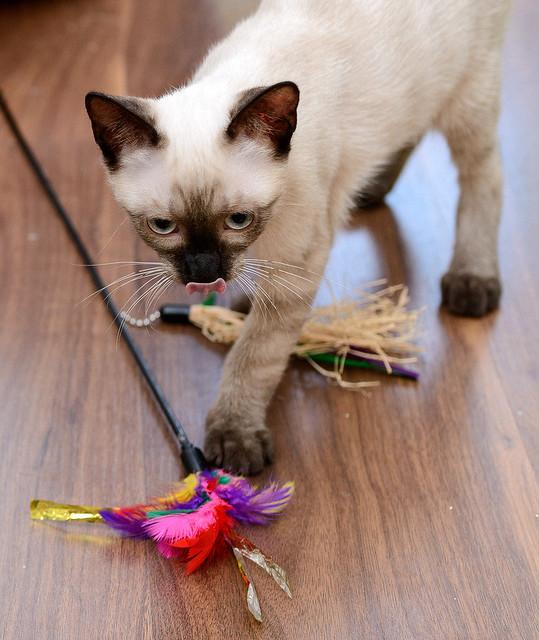 Boston, gatito Siamés Tabby reguapo y juguetón esterilizado, nacido en Marzo´18, en adopción. Valencia. ADOPTADO. 42717049764_e5f6c25e7b_z