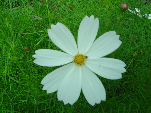 white cosmos | by martian cat