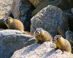 3 Little Marmots | by Sandra Leidholdt (away)
