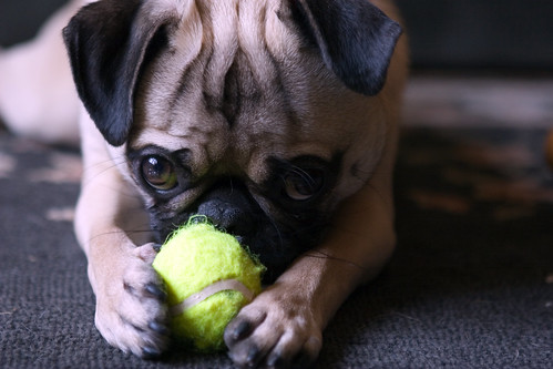 mini tennis balls are good for pugs added to the cream