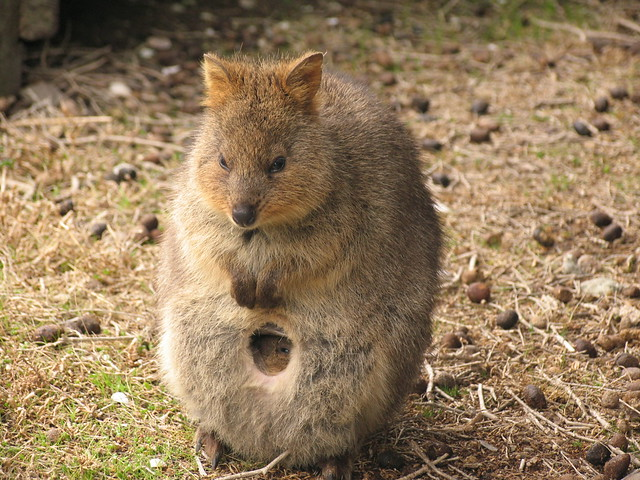 Quokka and baby. | Flickr - Photo Sharing!