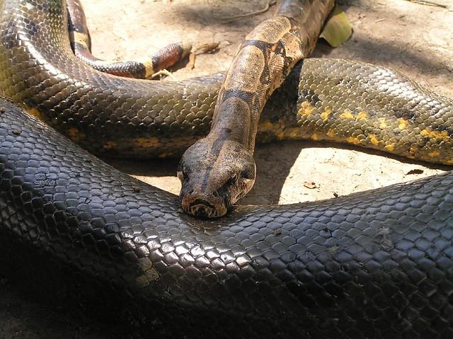 Image Result For Boa Constrictor Snake