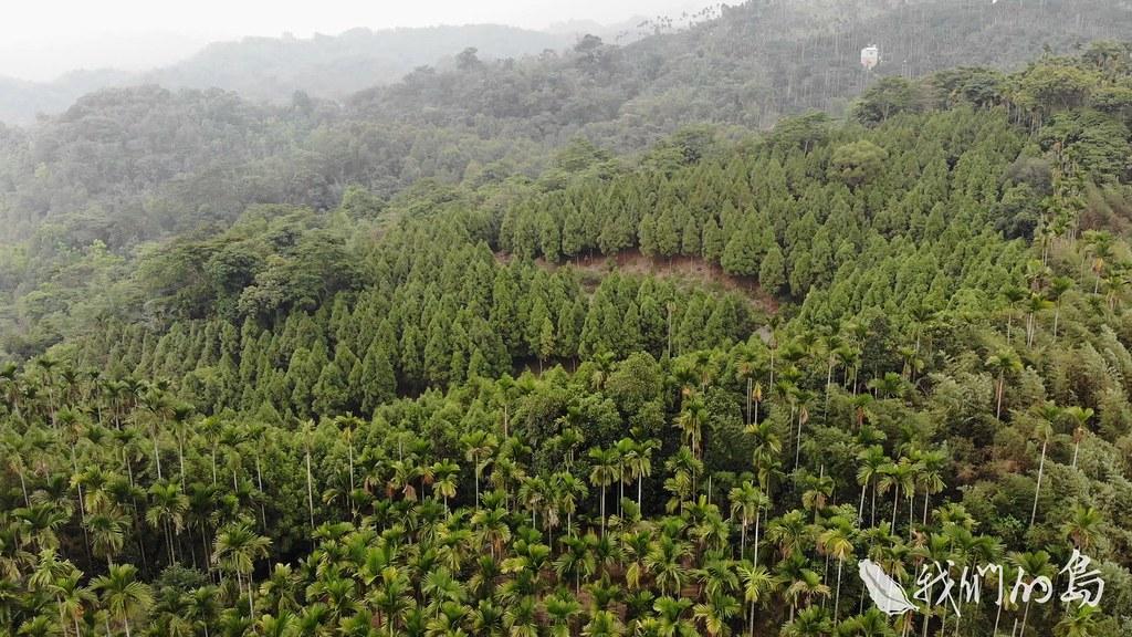 963-2-04s陽光從樹梢穿透,把整片肖楠林映成黃金森林,這些樹比黃金還要有價值。