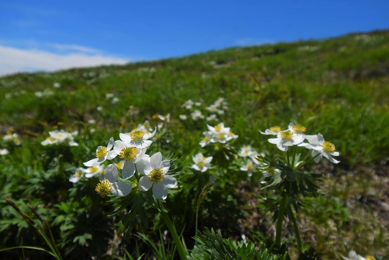 平標山~仙ノ倉山 ハクサンイチゲ満開の日帰り登山