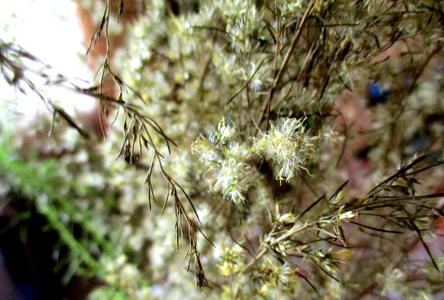 Dill flowers, dried 2