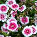 Purplish Summer flowers