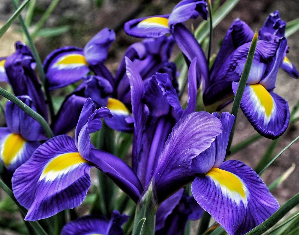 Iris flowers alert leanne hall flickr by leannehall3 iris flowers alert by leannehall3 izmirmasajfo