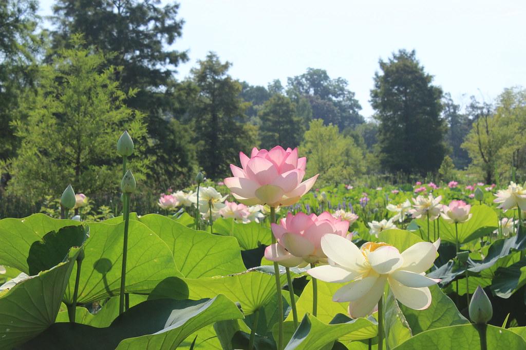 Aquatic Gardens, DC   Jim Havard   Flickr