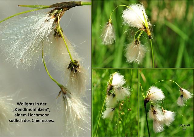 Zartes Wollgras in der Kendlmühlfilzen, Hochmoor, in der Nähe des Chiemsees ... Wollkugel, Wattebausch, Samenstand ... Foto: Brigitte Stolle 2018