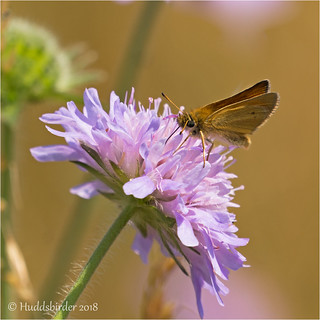 Essex Skipper | by Huddsbirder