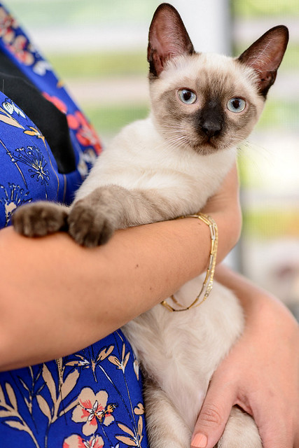 Boston, gatito Siamés Tabby reguapo y juguetón esterilizado, nacido en Marzo´18, en adopción. Valencia. ADOPTADO. 29562378458_6f6c0149c9_z