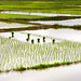 Partially planted rice paddies
