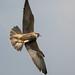 Peregrine : Falco peregrinus