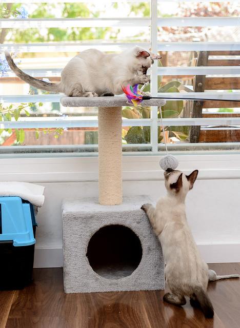 Boston, gatito Siamés Tabby reguapo y juguetón esterilizado, nacido en Marzo´18, en adopción. Valencia. ADOPTADO. 29562380918_cb24e57f20_z