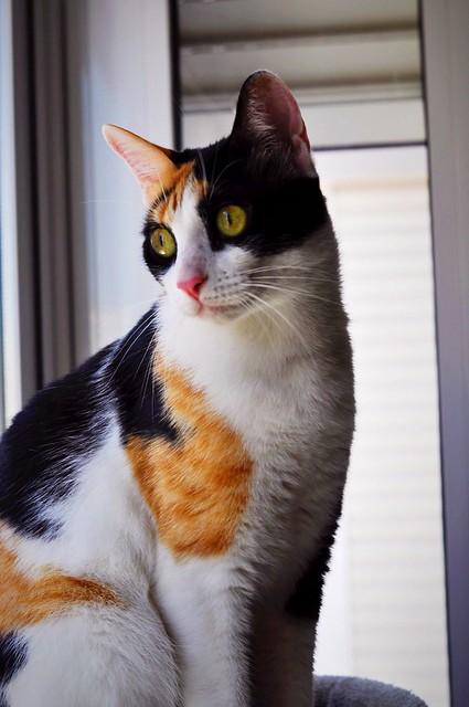 Ishtar, gatita tricolor Calicó súper cariñosa y juguetona esterilizada, nacida en Julio´17, en adopción. Valencia. 41827631930_592fd8ee24_z