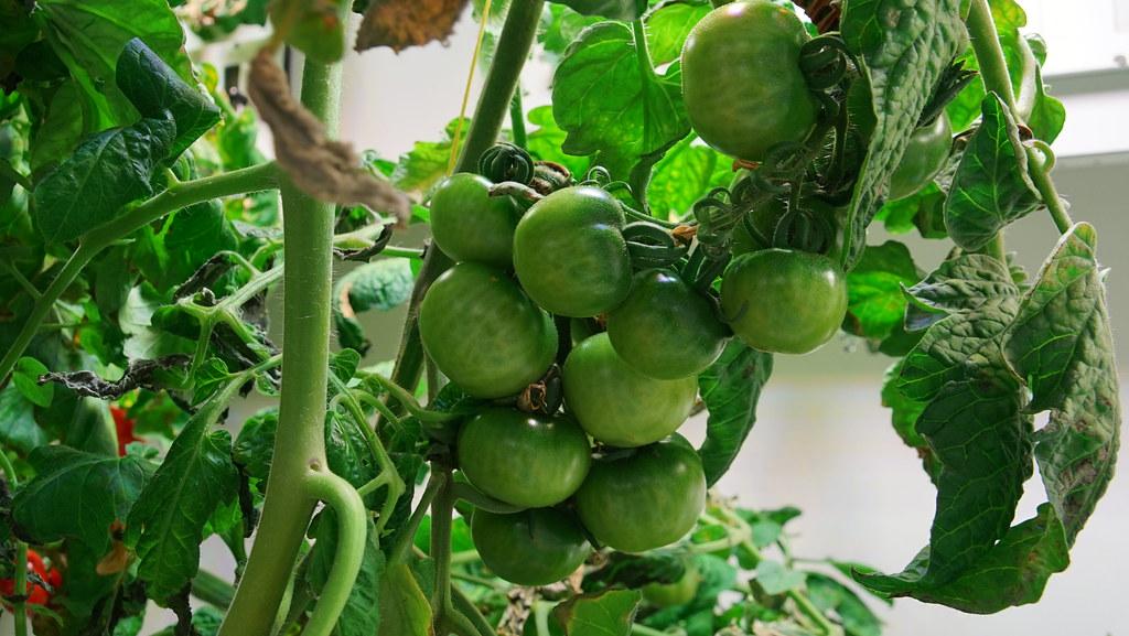 tomaten im gew chshaus halbzeit f r das antarktisgew chsha flickr. Black Bedroom Furniture Sets. Home Design Ideas
