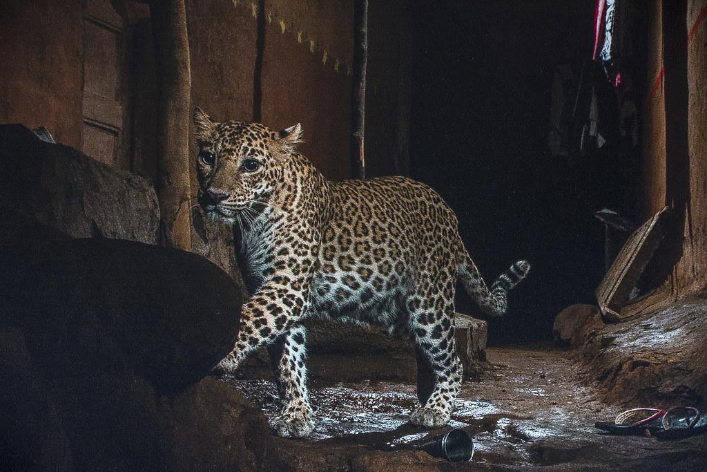 印度北方邦森林部和印度野生動植物信託基金會日前發表一份報告,分析人獸衝突成因,為大貓洗刷污名