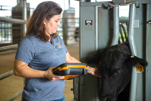 Christy Bratcher uses a uses a wireless scale to record the weight of a heifer