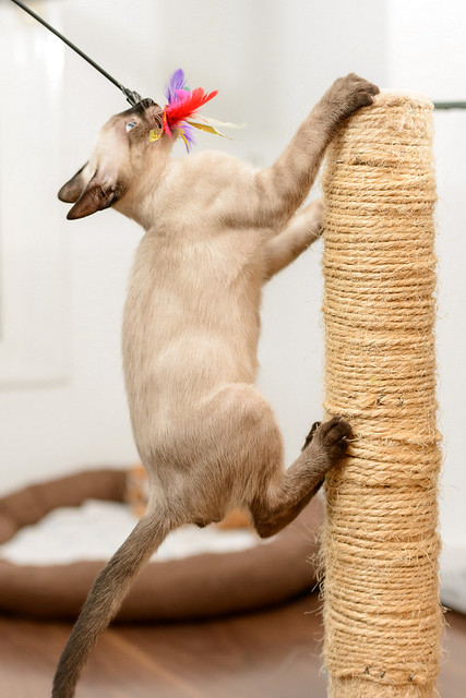 Boston, gatito Siamés Tabby reguapo y juguetón esterilizado, nacido en Marzo´18, en adopción. Valencia. ADOPTADO. 43385241022_7719e478d0_z