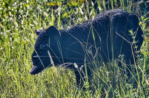 Wild Pig with a bit of a problem | by kevin.krause44