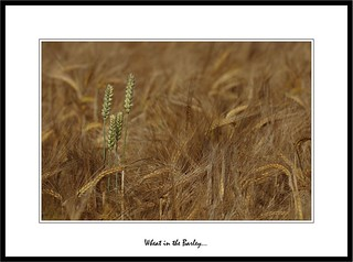 Wheat in the Barley... | by Eiderdrake.